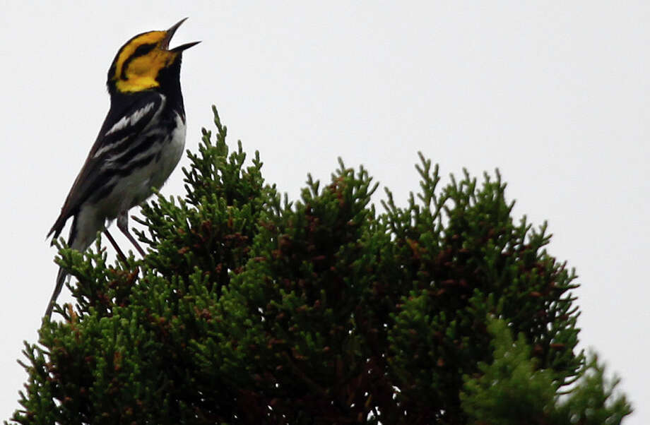 Golden-cheeked Warbler Photo: LISA KRANTZ, San Antonio Express-News / SAN ANTONIO EXPRESS-NEWS