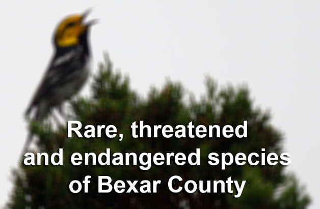 Here are some of the rare, threatened and endangered species indigenous to Bexar County. Some you may recognize. Photo: LISA KRANTZ, San Antonio Express-News / SAN ANTONIO EXPRESS-NEWS