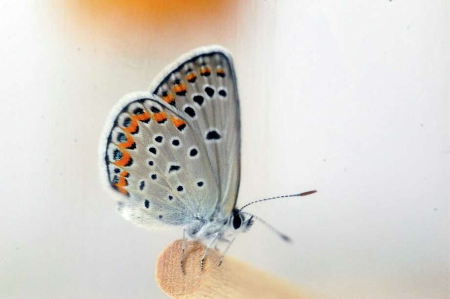 A Karner Blue butterfly sits inside an insect tent after just emerging inside the Albany Pine Bush Discovery Center on Wednesday, July 9, 2014, in Albany, N.Y.  This butterfly is part of a breeding program at the center.    (Paul Buckowski / Times Union) Photo: Paul Buckowski / 00027701A