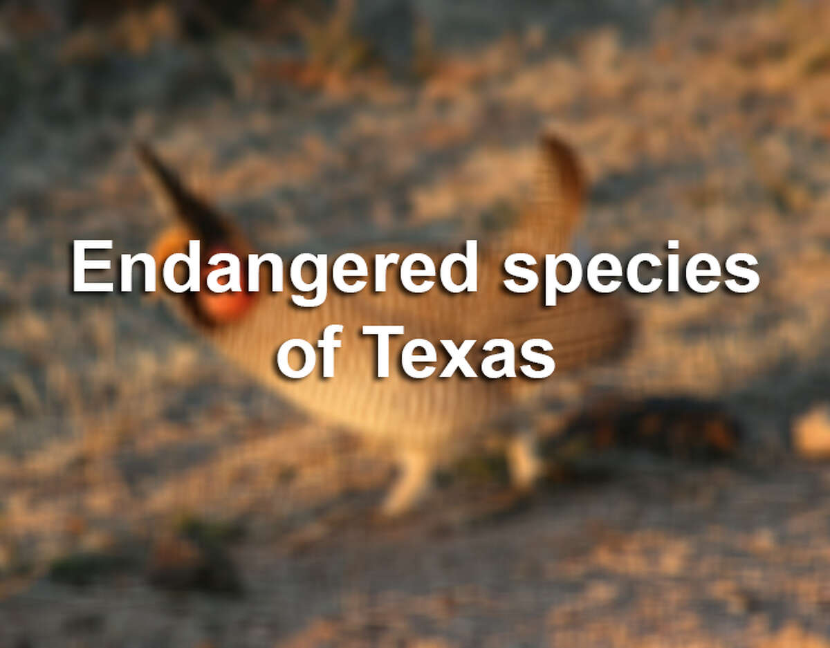 The state of Texas and U.S. government list a combined 200+ Texas species as either endangered of threatened. Here are a few. For more info on these species or to view the full list, visit our searchable datatase.