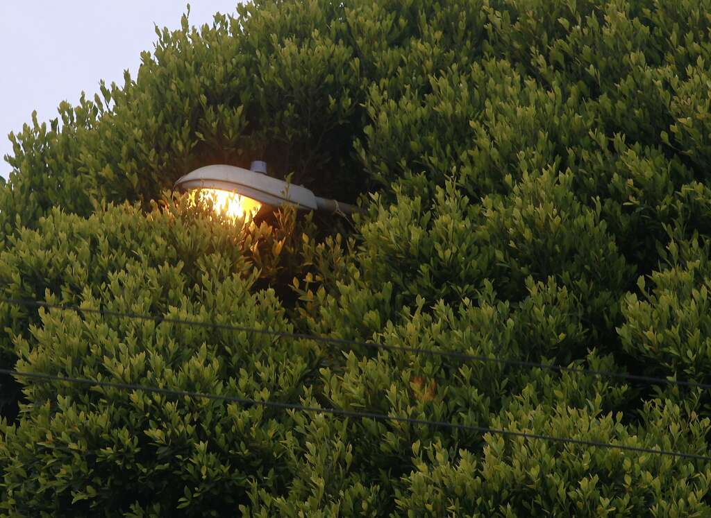 a street lamp is consumed by an overgrown ficus tree at hyde and union streets in - Ficus Trees