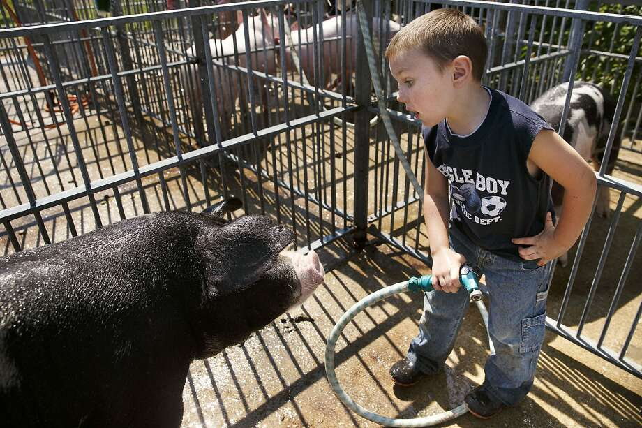 I do not like clean legs and ham: Owen White's spot gilt just stares at him as the impatient boy commands the porker to turn around so that he can wash her rear quarters. Owen's family is showing the pig at the Morgan County Fair in Jacksonville, Ill. Photo: Ted Schurter, Associated Press