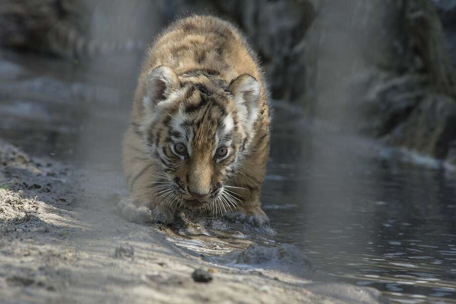 The moat is especially refreshing today! An Amur tiger cub has a drink at the Novosibirsk Zoo in 