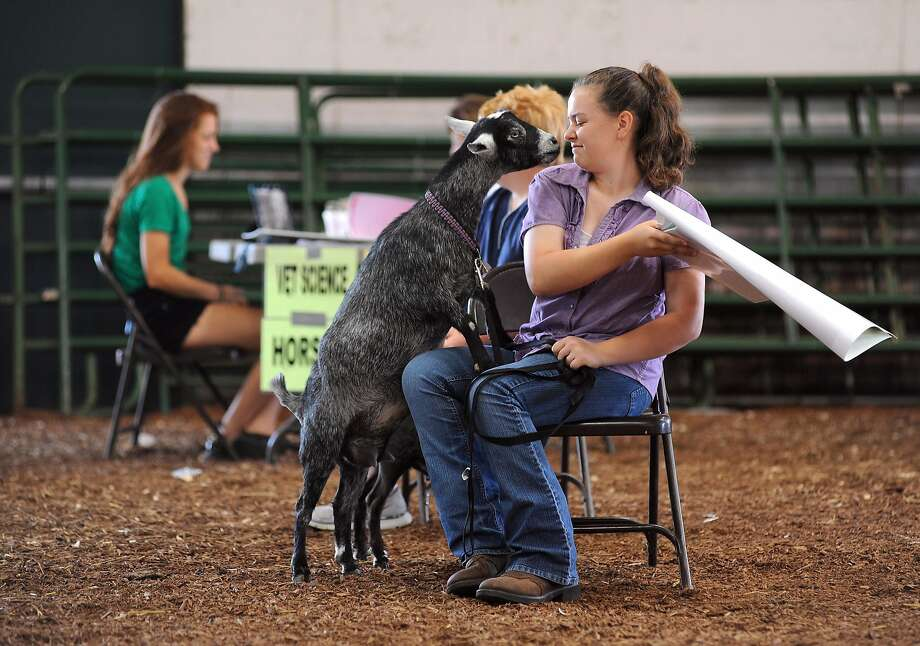 Apparently not that well: In Chillicothe, Ohio, 14-year-old Alexandrea Stewart of the We Feed 'Em Well 4-H Club tries to keep her pigmy goat Skylar from eating her Small Animals project poster board. Skylar is subject of the project for a 4-H judging event at the Ross County Fairgrounds. Photo: Frank Robertson, Associated Press