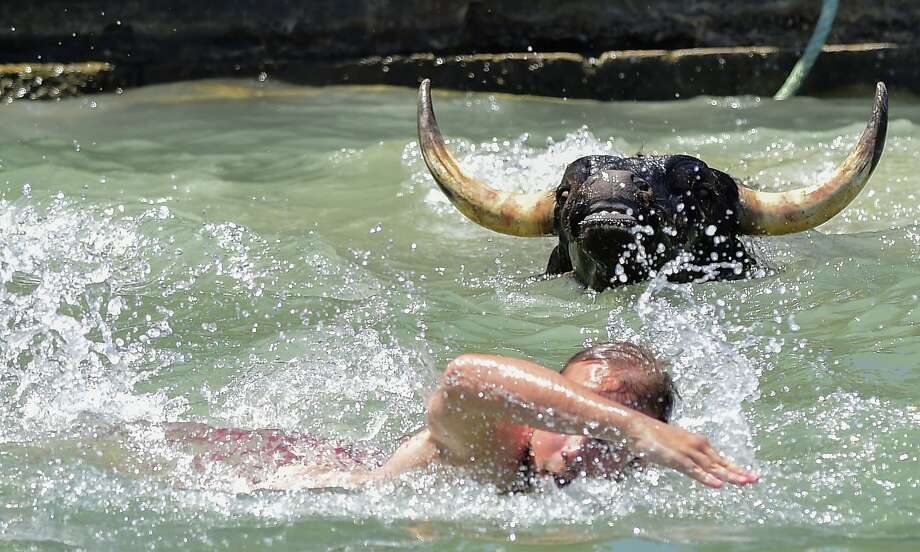Faster, he's gaining on you:Pamplona gets all the publicity for the Running of the Bulls, but for real drama, it's hard to beat the Swimming of the Bulls at Denia's harbor near Alicante, Spain. Photo: Jose Jordan, AFP/Getty Images