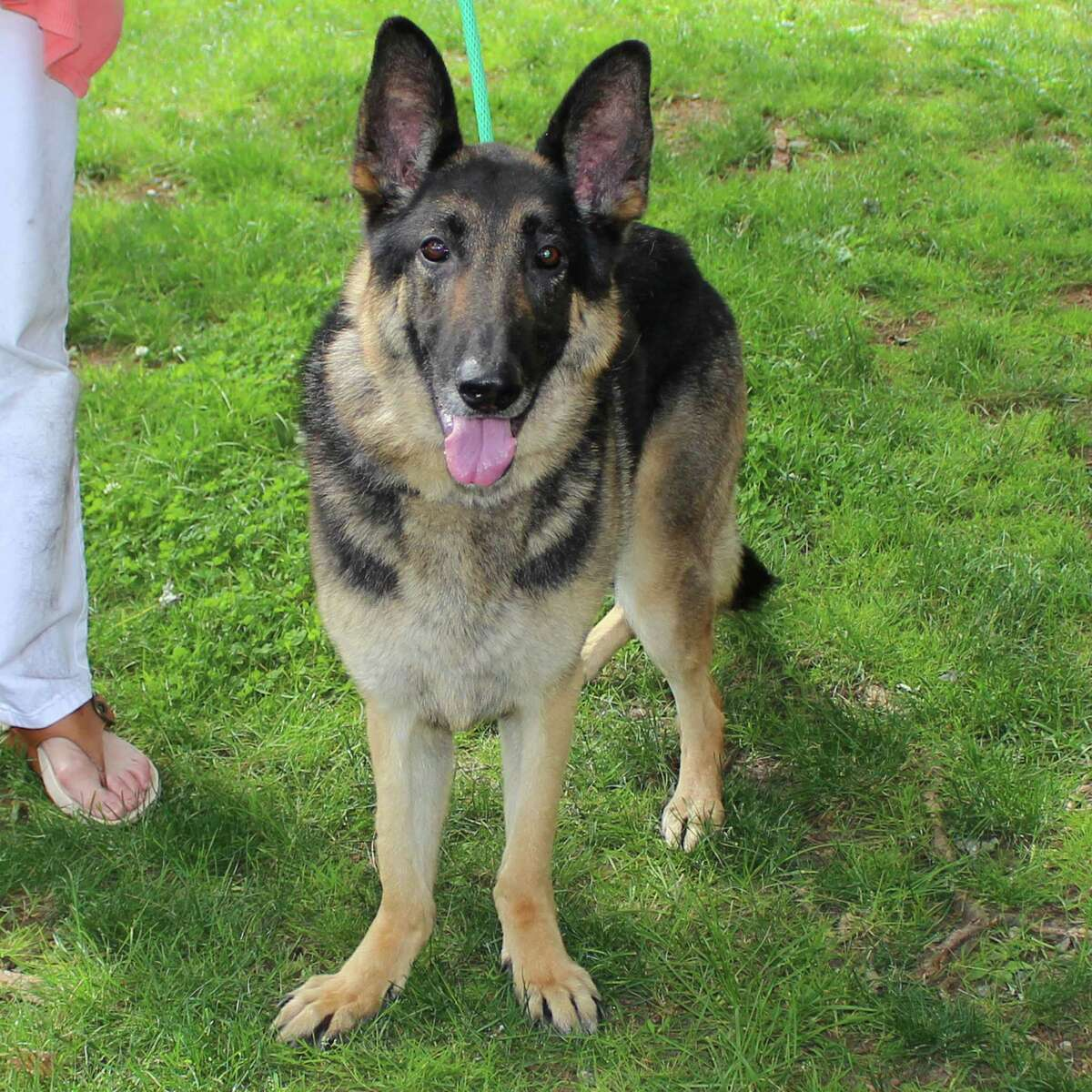 """Our """"Dog of the Week"""" is the extremely handsome Tacoma (a.k.a. Taco), a 6-year-old neutered male German shepherd who loves to go out to the yard and play fetch with tennis balls. He could possibly live with older children and perhaps another dog who is mellow and non-reactive. For more info, call Adopt-A-Dog at 203-629-9494 or visit www.adoptadog.org"""
