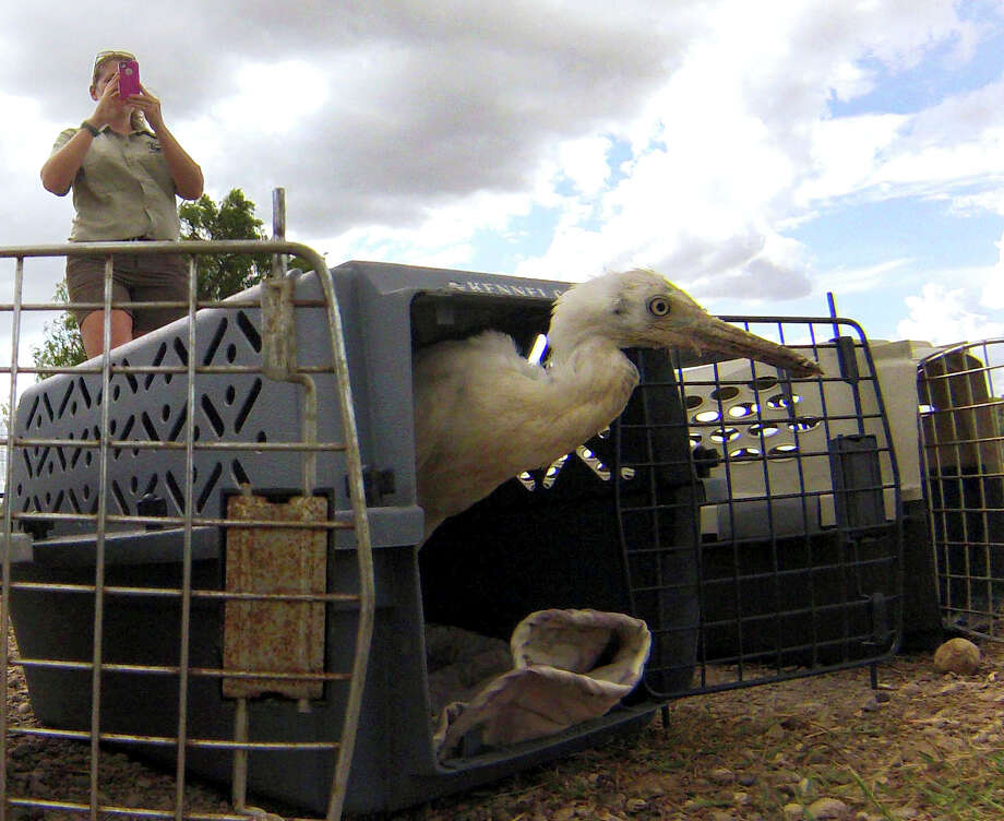 A cattle egret exits a container as Carolyn Asselborn, San Antonio Manager of the Wildlife Rescue & Rehabilitation group, takes a picture during a release at Braunig Lake on Thursday, July 10, 2014. Over 200 egrets were turned over to Wildlife Rescue by the San Antonio Zoo because they were disruptive at the zoo. Eventually, all 200 will be released into their natural habitat after being rehabilitated. Photo: Billy Calzada, San Antonio Express-News / San Antonio Express-News