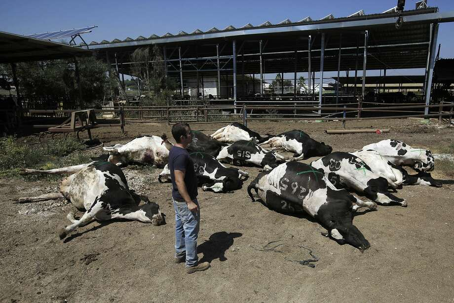A man looks at cows killed in a rocket attack from Gaza Strip on a dairy farm in  Beer Tuvia regional council on Thursday, July 10, 2014. Israel dramatically escalated its aerial assault in Gaza Thursday hitting hundreds of Hamas targets, as Palestinians reported more than a dozen of people killed in strikes that hit a home and a beachside cafe and Israel's missile defense system once again intercepted rockets fired by militants at the country's heartland. (AP Photo/Tsafrir Abayov) Photo: Tsafrir Abayov, Associated Press