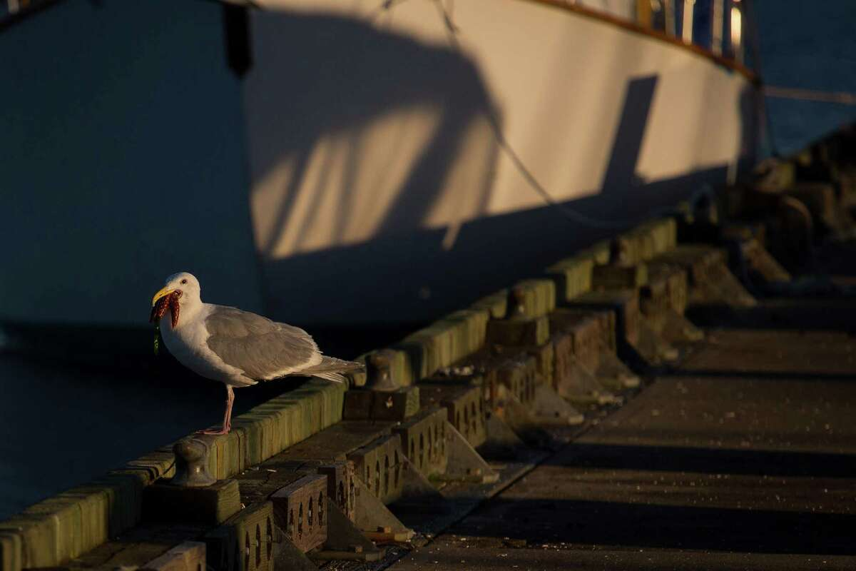 A seagull with a starfish in its beak rests on a dock during the Downtown Sailing Series hosted by Elliott Bay Marina on Thursday, June 10, 2014. Participants in the race have 90 minutes to sail along a course that starts at Elliott Bay Marina and runs along the downtown Seattle waterfront. The rules of the race are simple: Don't hit anyone. Those that complete the race within 90 minutes are entered to win a drawing for prizes.