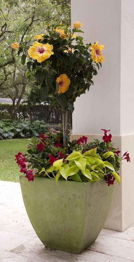 Tropical hibiscus and mandevilla create an instant garden when paired in a pretty pot. (Courtesy Costa Farms/MCT) Photo: HANDOUT, HO / MCT