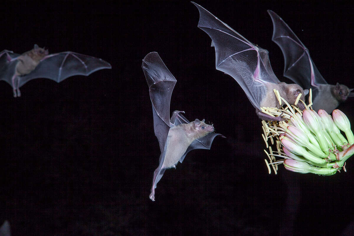 Bats, including these lesser long-nosed bats in Arizona, pollinate more that 300 fruit plants. Photo Credit: Kathy Adams Clark. Restricted use.
