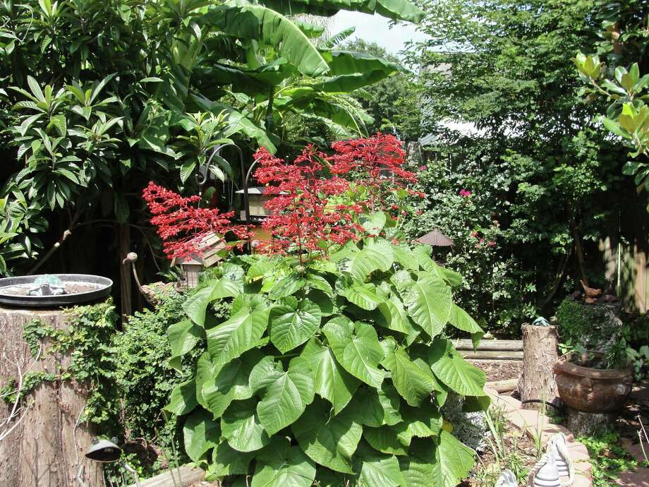 Pagoda flower is a dramatic clerodendrum for the warm-season garden.