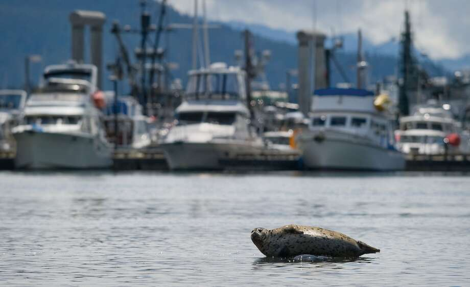 "While Copenhagen has its 'Little Mermaid' to guard its waters, Juneau relies on its ""Fat Harbor Seal."" The bulbous mammal lies on a mostly submerged rock in Don Statter Memorial Boat Harbor. Photo: Michael Penn, Associated Press"