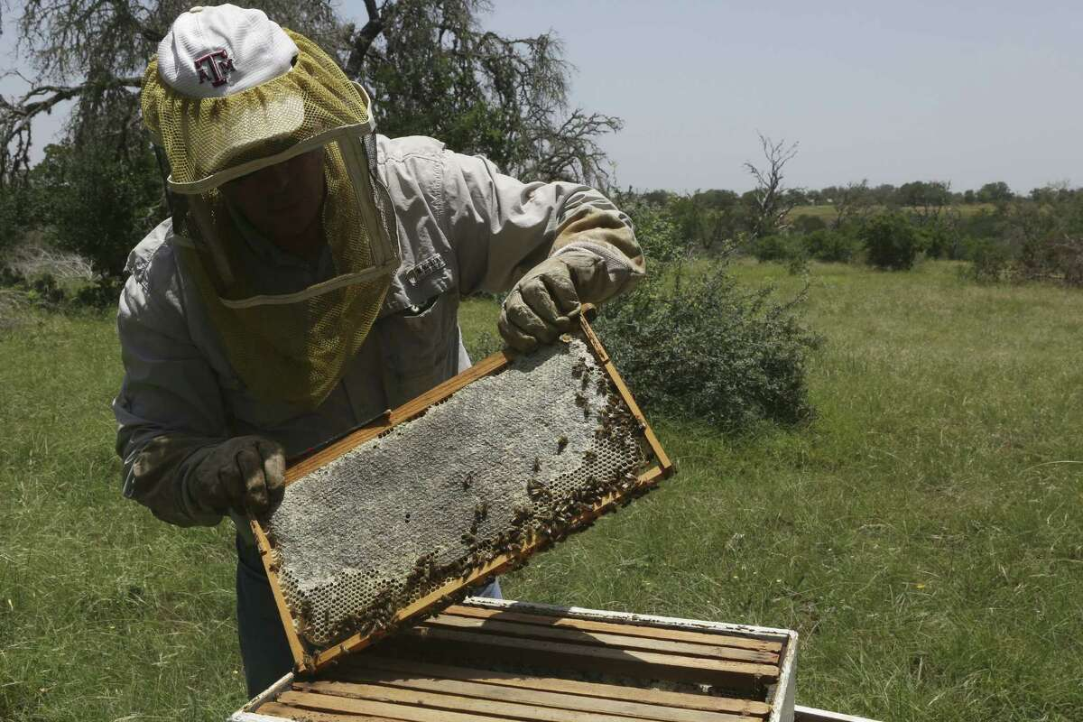 Rick Fink, president of the Alamo Area Beekeepers Association, tends to his bees at his home in Bandera. Honey bee populations are on the decline, and hobbyists such as Fink play an important role in efforts to rebuild populations.