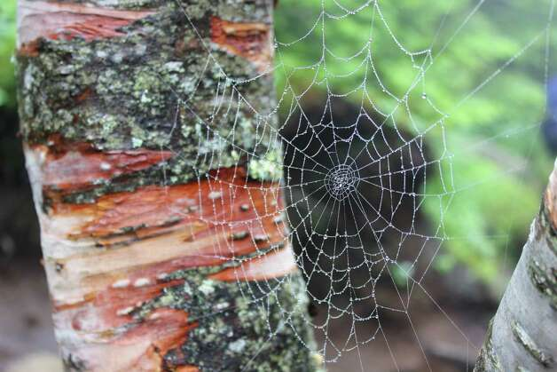 "While hiking Cascade and Porter Mountains in the High Peak Regions, Diane Mahar of East Greenbush and her family came across a picture-perfect spider web. ""If it had been in my house, I would have sucked it up with the vacuum cleaner. But on a trail in the Adirondacks, it was simply beautiful,"" she says. It was also her 11-year-old daughter's first High Peak trip. ""Unfortunately the summit, which is known for its beautiful 360-degree views, was totally overcast. But we enjoyed the treasures we found along the way, including this web."" (Diane Mahar)"