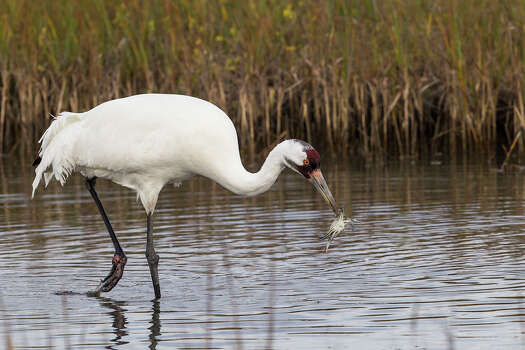 Texas Whooping Cranes An adult whooping crane feeds on a blue crab in a shallow marsh at the Aransas National Wildlife Refuge near Rockport, Texas.  Photo Credit:  Kathy Adams Clark   Restricted use. Photo: Kathy Adams Clark / Kathy Adams Clark/KAC Productions