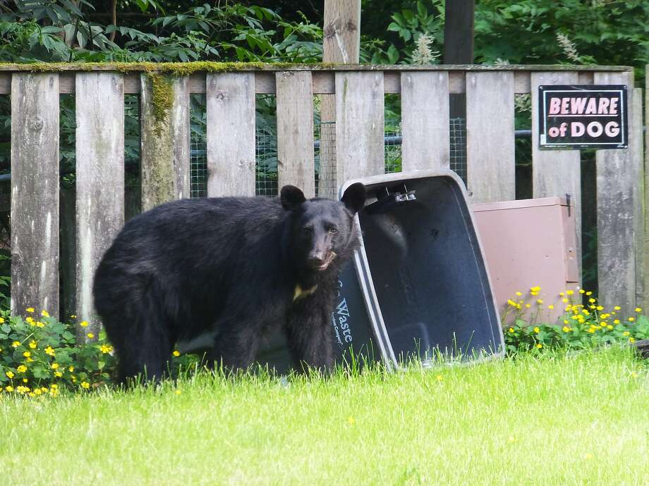 A black bear similar to this one made a dramatic entrance through a skylight at a home in Juneau, Alaska, late last month. Photo: Becky Bohrer, Associated Press