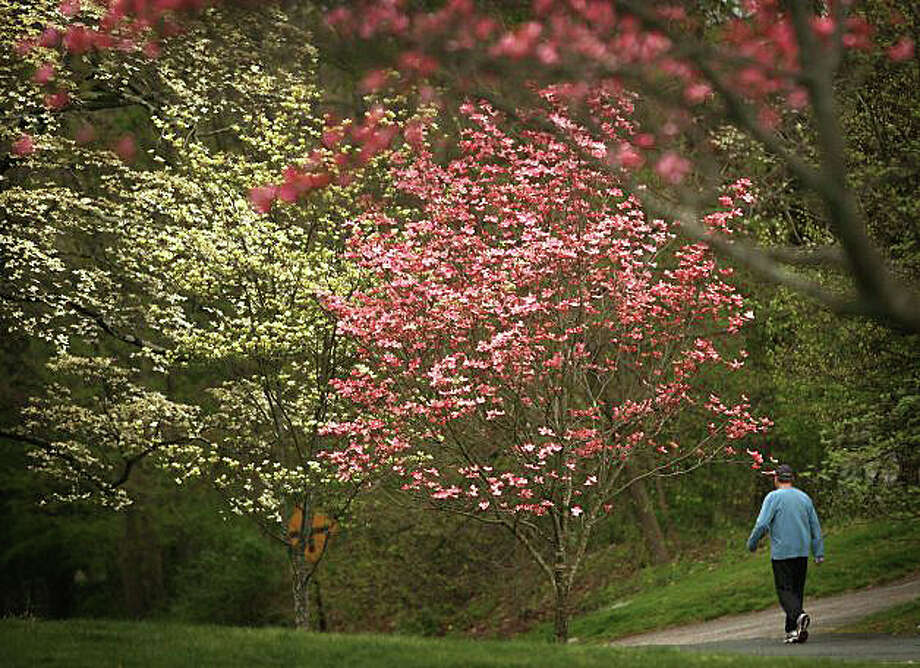 The controversial plans to trim Greenfield Hill's famous dogwood trees -- and thousands of others across town -- will be the topic of a public meeting at 7:30 p.m. Tuesday in Greenfield Hill Congregational Church, 1045 Old Academy Road. Photo: File Photo / Fairfield Citizen
