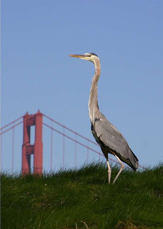 "Photographer Linda Dalton, an administrator at Cal State East Bay, took this photograph from the parking lot at Crissy Field. ""I maneuvered around the bird until I could see the Golden Gate Bridge in the distance.  I especially like this image because the heron ""towers"" over the bridge!  I use a Canon digital camera with different lenses."" Follow Dalton on Instagram @lindadalton45 and if you would like your image considered for publication, post it on Instagram with the tag #howsfseessf. We will contact you if it is chosen. Photo: Linda Dalton, Special To The Chroncile"