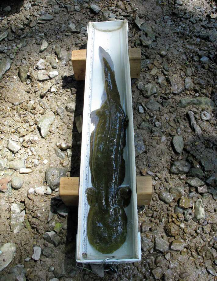 In this June 18, 2014, photo, an adult hellbender, measuring 21 inches in length, rests in a measuring device on near Corydon, Ind., along southern Indiana's Blue River after being caught by a Purdue University team surveying the river for the rare amphibians. The big salamander was later released by the Purdue team back into the river. Hellbenders, North America's largest salamander, are endangered in Indiana and four other states and face habitat pressure in most of the 11 other states where they're found. Photo: Rick Callahan, AP  / AP