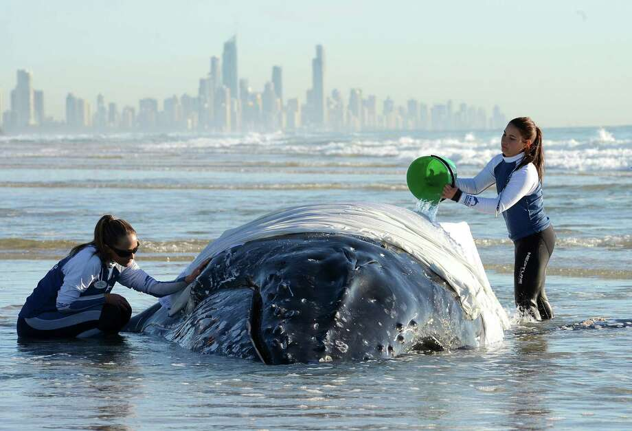 A humpback whale calf is tended to by Sea World staff after beaching itself at Palm Beach on the Gold Coast, Wednesday, July 9, 2014. Authorities will attempt to tow the calf out to open water Wedesnday evening after the tide rises aiding in the rescue.(AP Photo/AAP/Dave Hunt) AUSTRALIA OUT, NEW ZEALAND OUT, PAPUA NEW GUINEA OUT, SOUTH PACIFIC OUT, NO SALES, NO ARCHIVES Photo: Dave Hunt, AP  / AAP