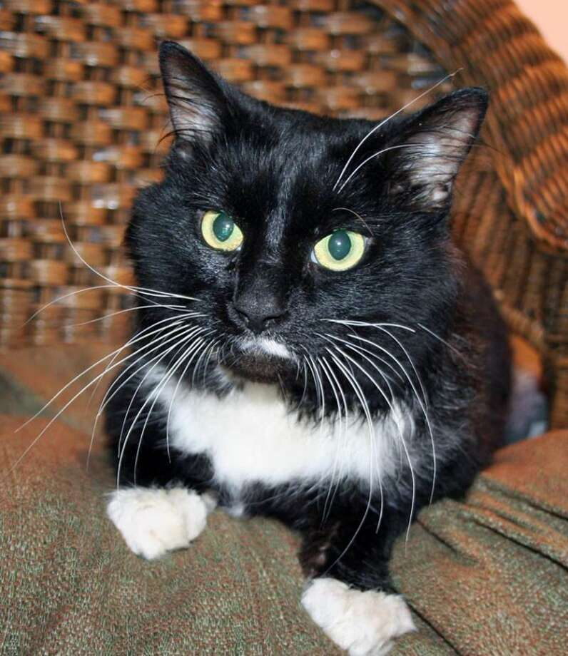 Alfred is a young, handsome and good-natured cat. (Mary Lou Baker)