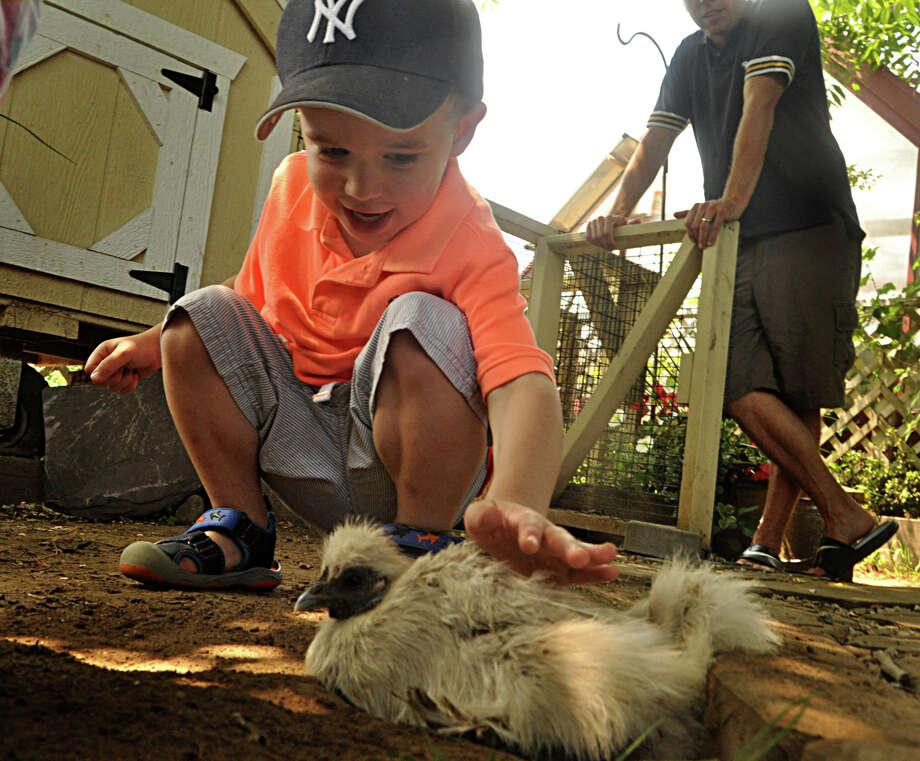 Three-year-old Finley Halstead meets a chicken Sunday at Wakeman Town Farm. Photo: Nancy Guenther Chapman / Westport News