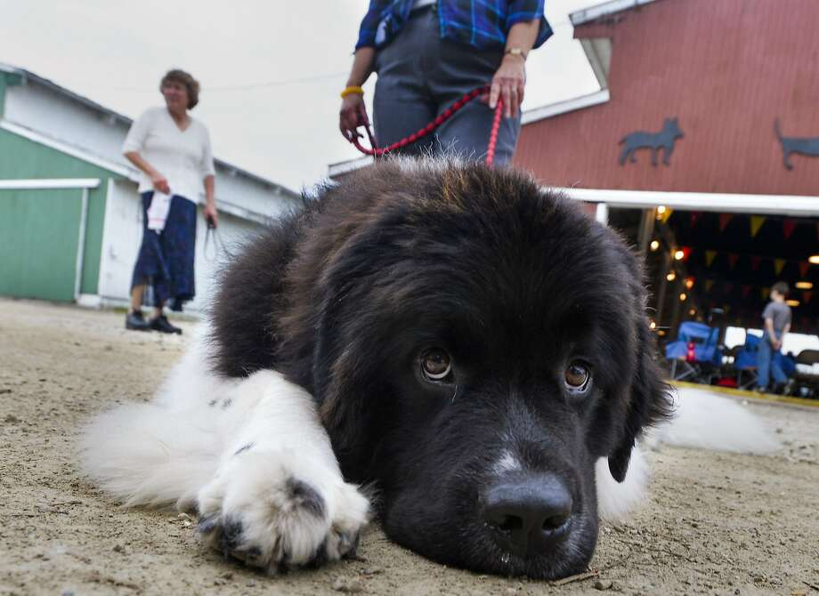 Dog shows make his muscles tense: Devlin the Newfoundland patiently waits for his massage at the UKC All Breed Dog Show at the Heart of Illinois 