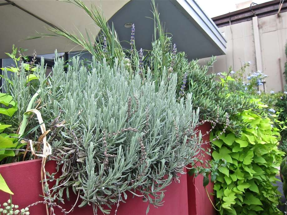 Rosemary and other herbs flourish in the kitchen garden in front of L'Olivier on Westheimer. Photo: Alison Cook
