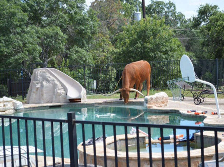 Red the Longhorn sips water from a neighbor's swimming pool. The steer wanders freely through unfenced ranches near Helotes. Photo: Courtesy Photo