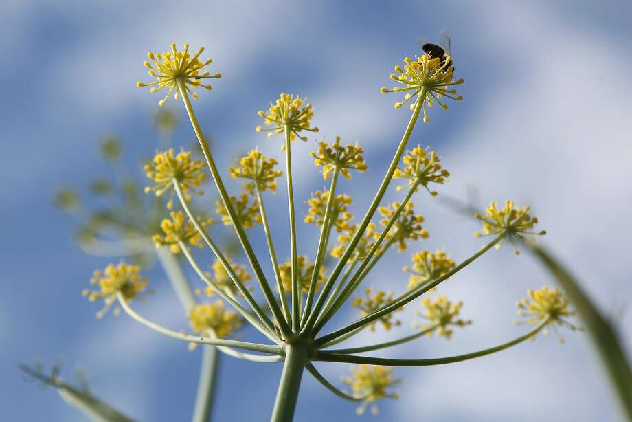 A bee alights on the flower of a wild fennel plant in Oakland. Wild fennel is considered an invasive plant, and foraging can help keep the species under control. Photo: Michael Short, The Chronicle