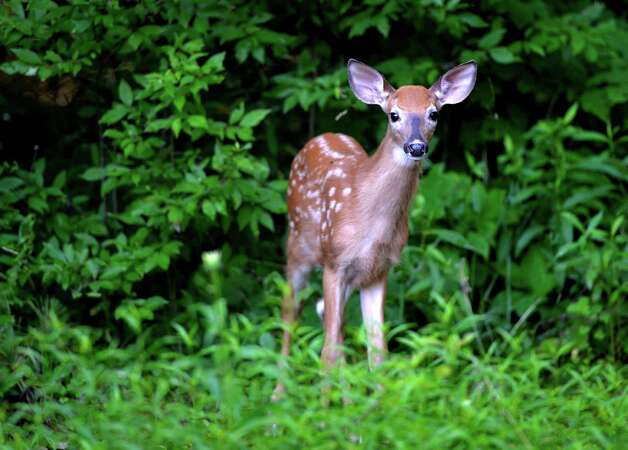 A fawn looks around for breakfast Wednesday morning, July 14, 2014, on Hill Road in Stillwater, N.Y.    (Skip Dickstein / Times Union) Photo: SKIP DICKSTEIN