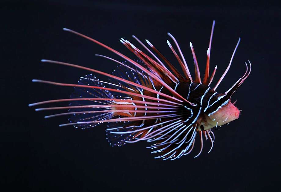 Lionfish, which are popular in aquariums because of their unique-looking, venomnous spiky fins and rays, are native to the Pacific Ocean but during the last few decades have spread to the Atlantic, mostly along the East Coast and near Florida. Photo: Courtesy, Wikimedia