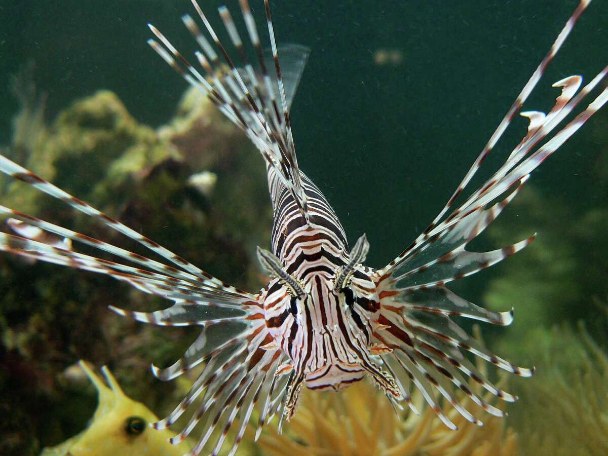 Lionfish, which are popular in aquariums because of their unique-looking, venomnous spiky fins and rays, are native to the Pacific Ocean but during the last few decades have spread to the Atlantic, mostly along the East Coast and near Florida.