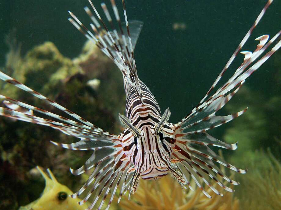 Lionfish, which are popular in aquariums because of their unique-looking, venomnous spiky fins and rays, are native to the Pacific Ocean but during the last few decades have spread to the Atlantic, mostly along the East Coast and near Florida. Photo: Picasa 2.0, Courtesy, Wikimedia