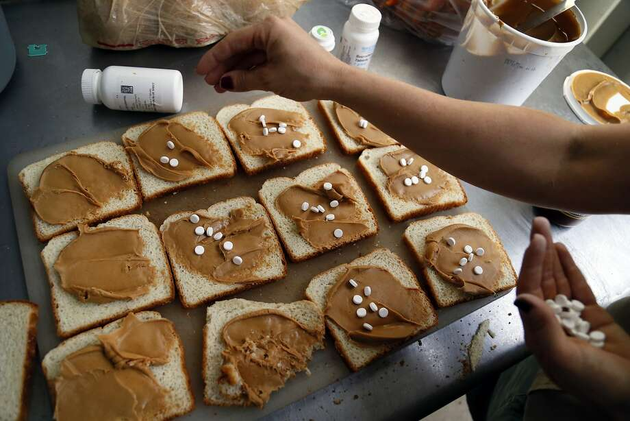 How you get an elephant to take her meds:Elephant keeper Katrina Bilski puts anti-inflammatory   pills in peanut butter sandwiches for Mama, the Dallas Zoo's 44-year-old elephant. Six sandwiches at   once is just a snack for Mama. Photo: Kye R. Lee, Associated Press