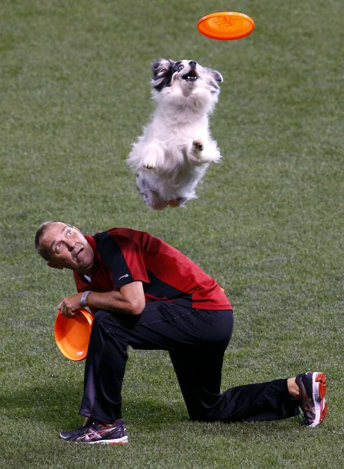 Great catch in the outfield: The Frisbee-catching dog that performed during a break in the Home Run Derby provided more drama than the Home Run Derby. Photo: Paul Sancya, Associated Press