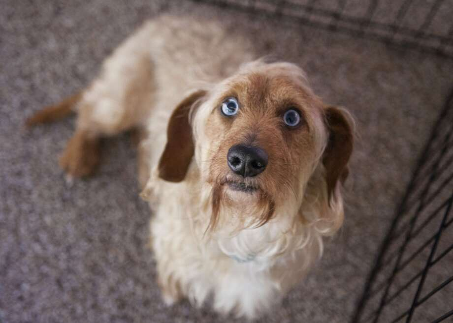 The well-to-do don't buy purebred pets from breeders. The most chic thing you can do is go to the Humane Society to adopt a mutt. Photo: Doxieone Photography, Moment Open Via Getty Images