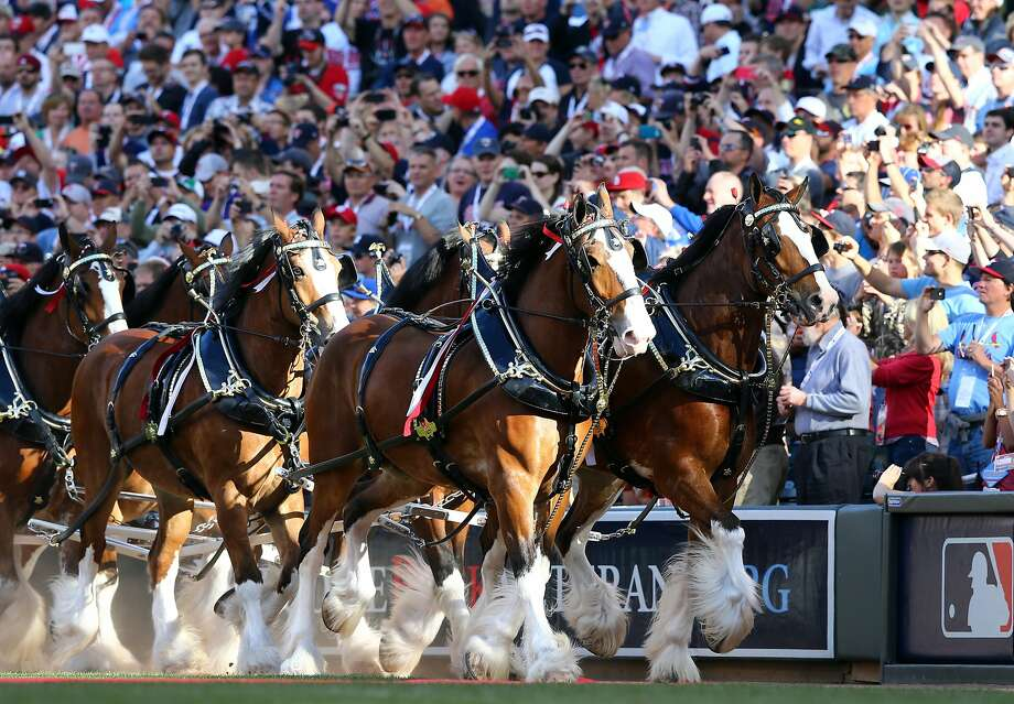 The Budweiser Clydesdales take the field prior to the 85th MLB All-Star Game at Target Field on July 15. Photo: Elsa, Getty Images