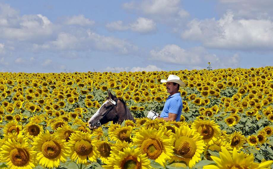 Bob Grutza rides on horseback through his field of sunflowers Tuesday, July 15, 2014 near Maysville, Ky. Grutza has five acres of sunflowers on his property. (AP Photo/The Ledger Independent, Terry Prather) Photo: Terry Prather, Associated Press
