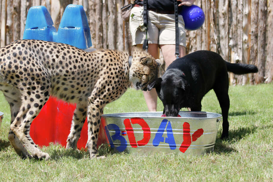 Amani, a black Labrador and Winspear, a cheetah play during their birthday celebration on July 10 at the Dallas Zoo. Photo: Courtesy Dallas Zoo
