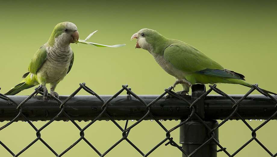 You know there's an entire lawn below us, right? In Cooper City, Fla., a feral monk parakeet fights another parakeet for its lunch - a blade of grass. Photo: J Pat Carter, Associated Press