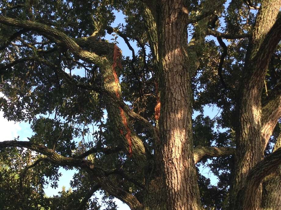 A possible lightning strike that injured four people in southwest Houston on Wednesday stripped sections of bark from a tree along Imogene near Renwick. Photo: Mike Glenn, Chronicle
