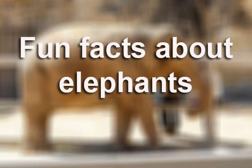 Elephants are majestic creatures, aren't they? Click through to see 12 fun facts about elephants.