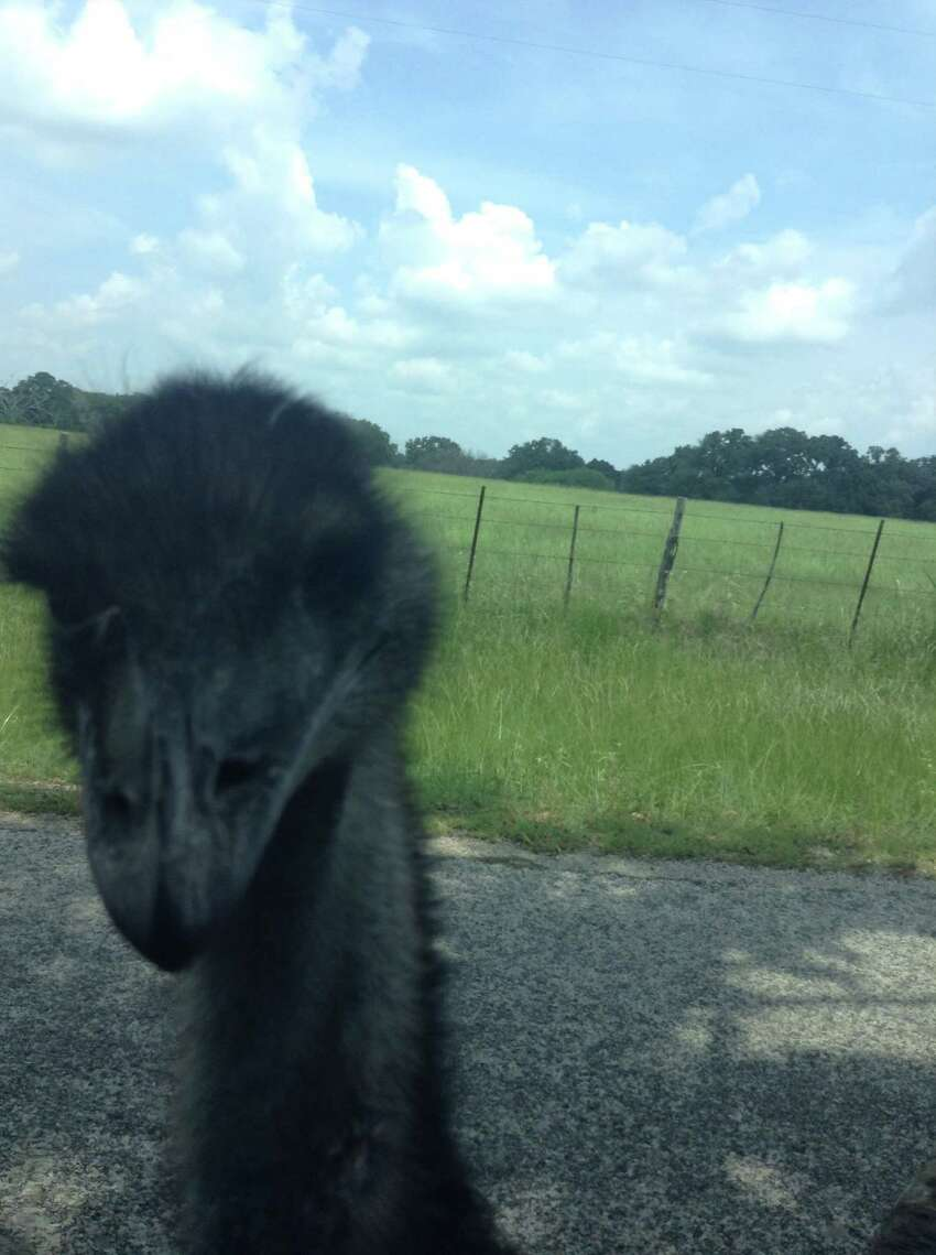 Elliott the emu has only one eye. He roamed around Brazos County until he was lured by vanilla wafers and was captured Wednesday.