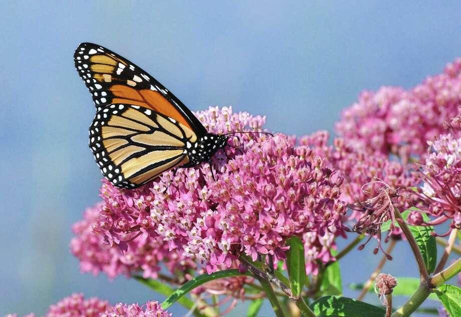 Fotolia.comMonarch Butterfly (Danaus plexippus) on Swamp Milkweed Wildflower (Asclepias  incarnata) / Mark Herreid - Fotolia