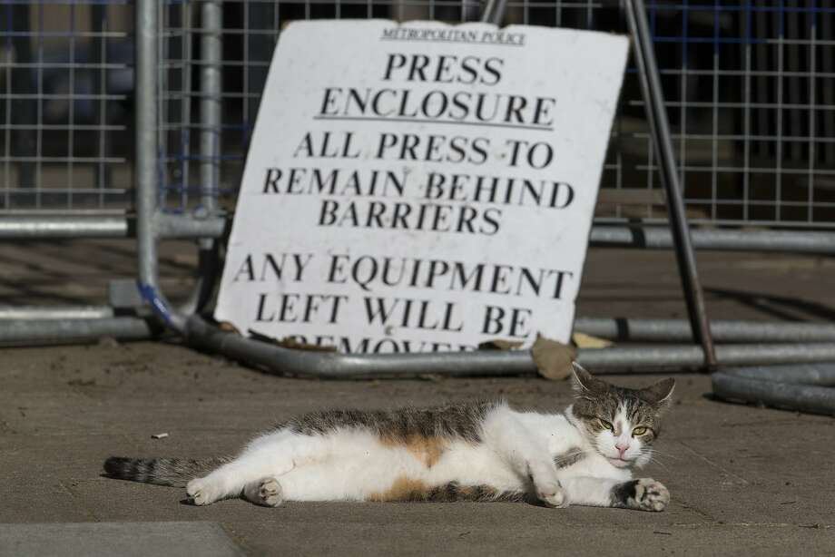 The prime minister will take questions now. Yes, the correspondent from the Daily Fur Ball ...?That's not a kitty journalist, of course, but rather Larry, British Prime Minister David Cameron's   sun-loving tabby at 10 Downing Street in London. Photo: Oli Scarff, Getty Images