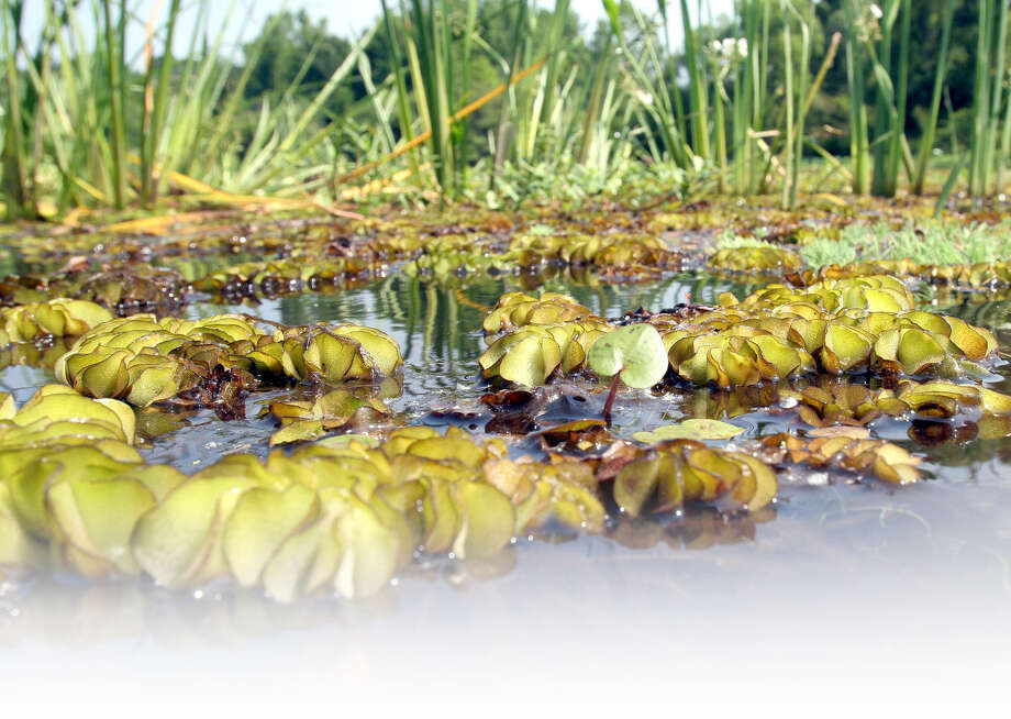 Water grasses grow behind clumps of giant salvinia, with their brown roots trailing below the water in a cove at Toledo Bend Reservoir. Giant salvinia, an invasive weed native to South American, is found in freshwater ponds and lakes across the U.S. Photo: Pat Sullivan / Associated Press / AP