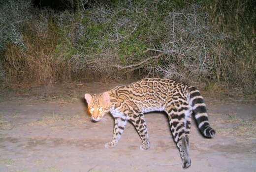 Ocelots typically live for about 10 years in the wild but have been known to live longer. One female ocelot on the Laguna Atascosa Refuge was first found as a two-week old kitten and was tracked for 11 years. Photo: Courtesy Photo/U.S. Fish And Wildlife