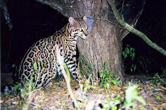 An ocelot is caught on a trip camera at the Laguna Atascosa National Wildlife Refuge in the Rio Gande Valley. Photo: COURTESY PHOTO, Courtesy Photo/U.S. Fish And Wildlife / US FISH AND WILDLIFE